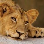 Lazy Lioness - Djuma Game Reserve