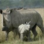rinoceronte bianco Img1-41638