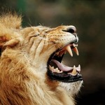 Djuma Game Reserve - Lion Roar