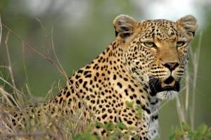 Djuma Game Reserve - Leopard