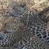 Karula's cubs Bernice.