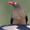 Djuma birds