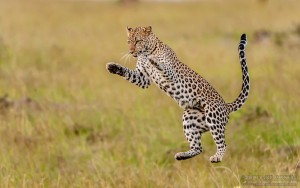 Leopard Jumping